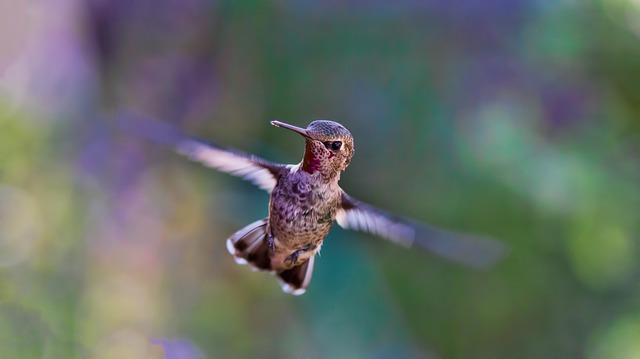 letící kolibřík