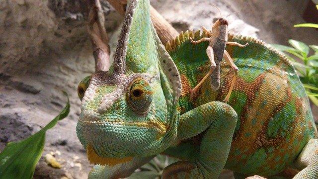 chameleon s kobylkou