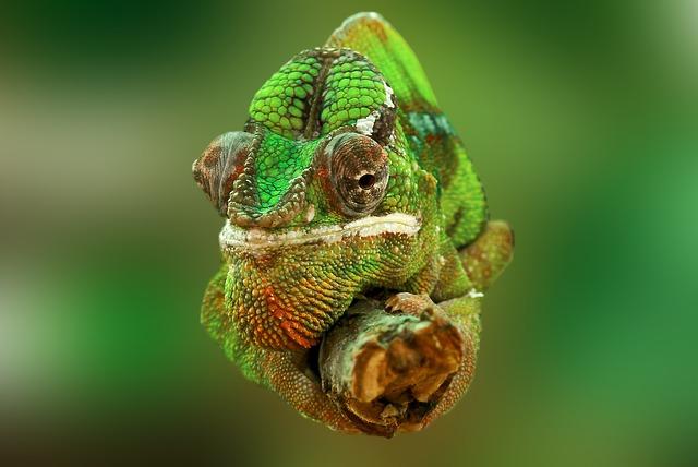 chameleon na klacku