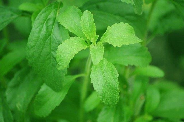 rostliny stévie