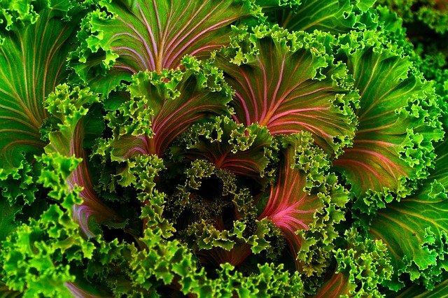 salát mangel