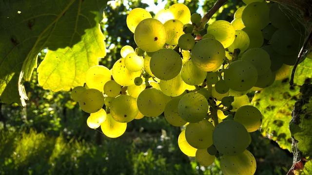 podzimní víno